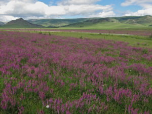 Wildflowers in Mongolia, horseback riding in Gorkhi-Terelj NP