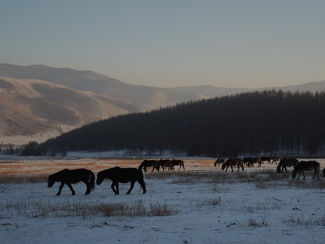 Winter horses in Mongolia, horses in Mongolia, Horse riding in Mongolia