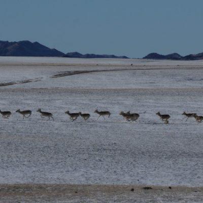 Mongolian gazelle, Gobi desert, winter travel destination