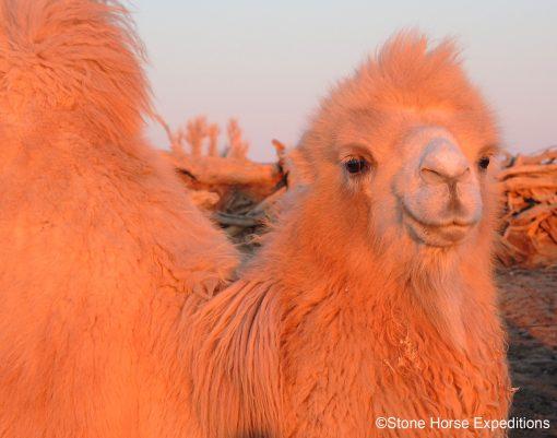 Bactrian Camel in the Gobi Desert, Mongolia
