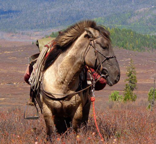 Mongolian horses for riding holidays