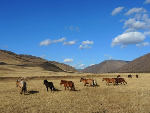 Mongolian horses in the steppes in autumn, riding in National Parks