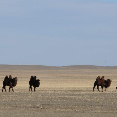 Bactrian Camels, Gobi Desert, Mongolia