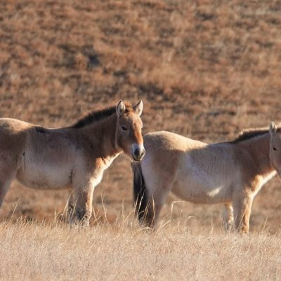 Hustai National Park - Home of the Takhi Wild Horses