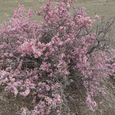 Gobi Crossing, Mongolian almond in flower