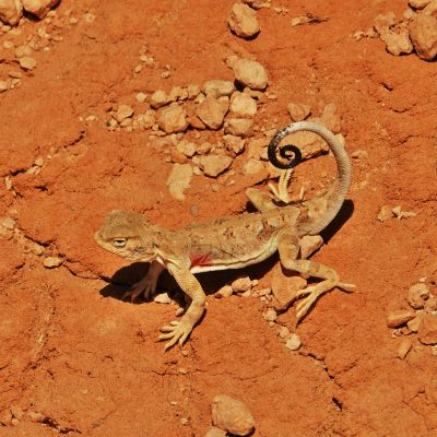 Gobi Crossing, agama, lizard, desert wildlife, Mongolia
