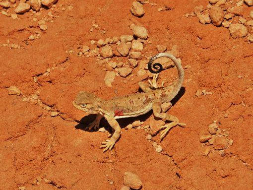 Gobi Crossing, agama, lizard, desert wildlife, Mongolia