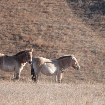 Mongolia Adventure Tour, Przewalski Horses, Takhi, Hustai Nuruu NationaL Park